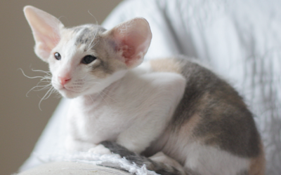 What it means to be a Cat Breeder