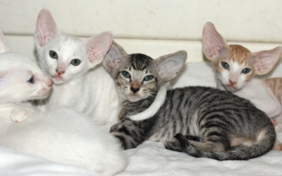 Diva Litter – Oriental & Peterbald Kittens South Africa
